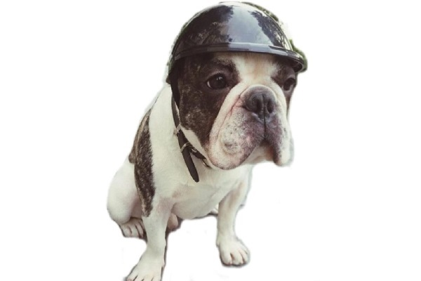 Stock Show Dog Helmet